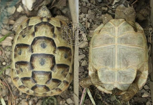 La tortue levantine (Testudo ibera) Ti1110