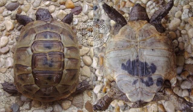 La tortue levantine (Testudo ibera) Ti1210