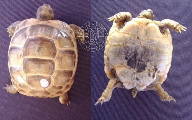 La tortue levantine (Testudo ibera) Ti1310