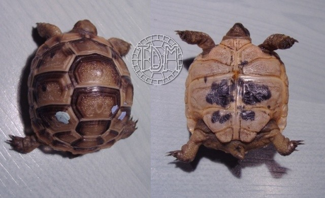 La tortue levantine (Testudo ibera) Ti1411