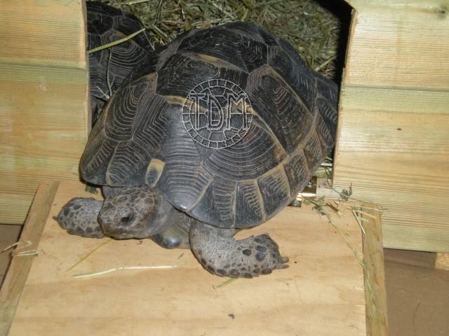 La tortue levantine (Testudo ibera) Ti1710