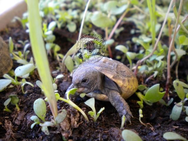 La tortue levantine (Testudo ibera) Ti1910