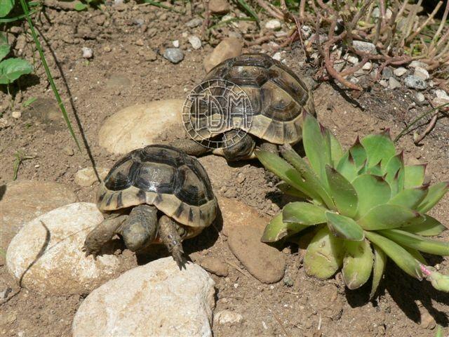 La tortue levantine (Testudo ibera) Ti210
