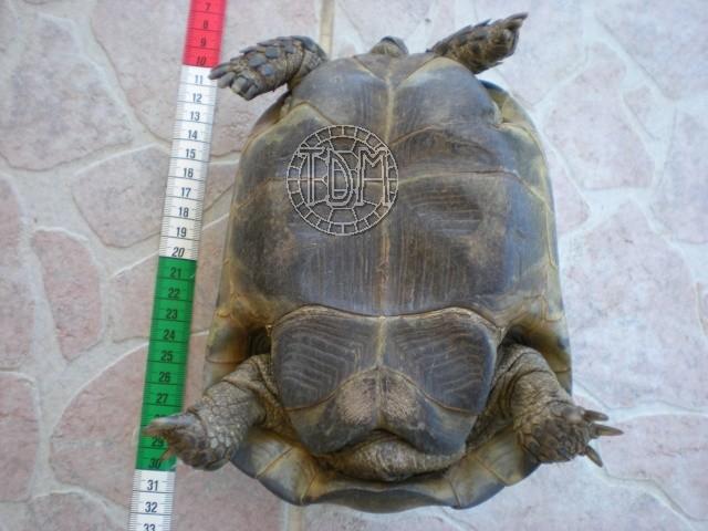 La tortue levantine (Testudo ibera) Ti410