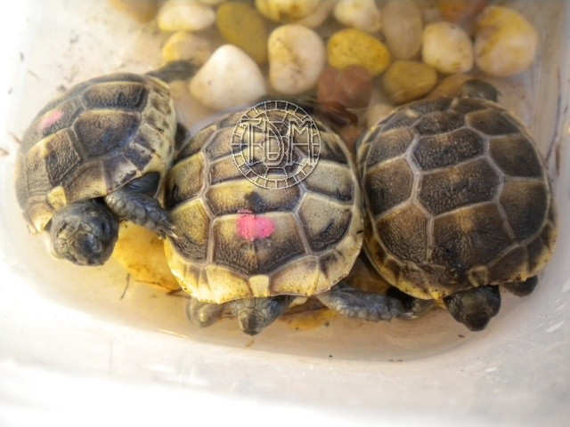 La tortue levantine (Testudo ibera) Ti610
