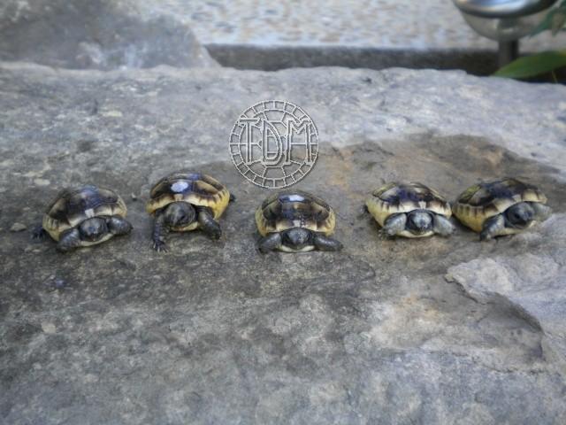 La tortue levantine (Testudo ibera) Ti810