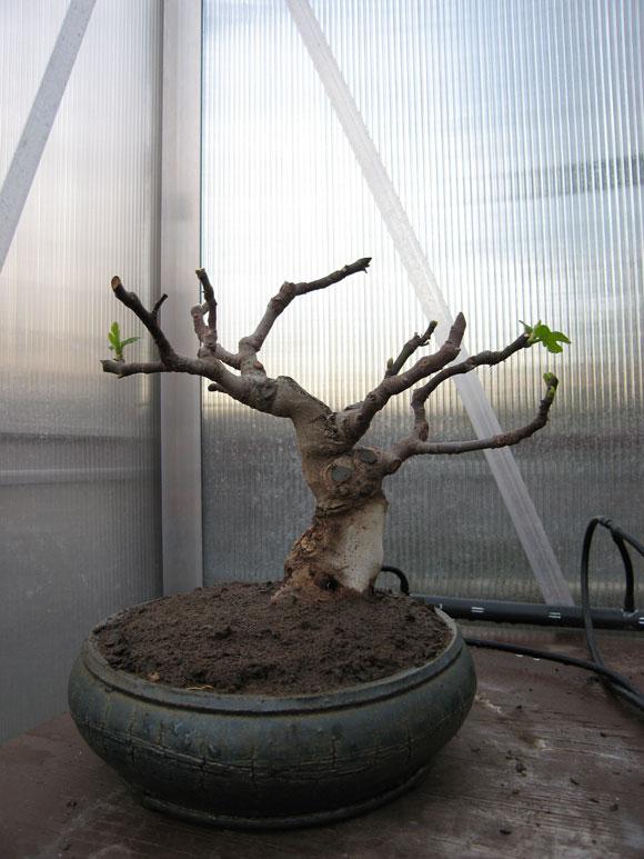 Ficus-Carica Img_1910
