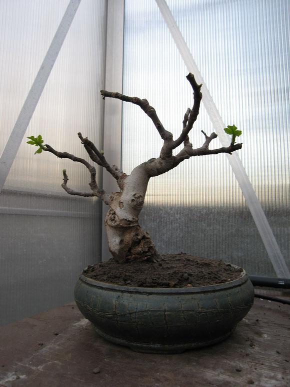 Ficus-Carica Img_1911