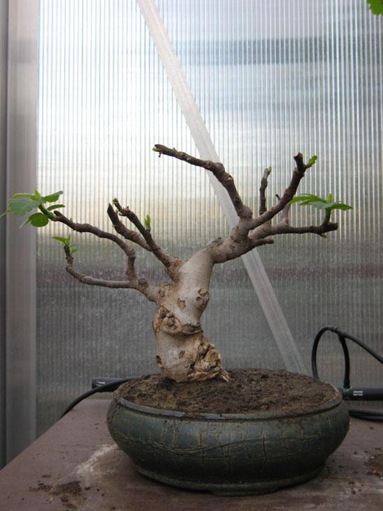 Ficus-Carica Img_2011