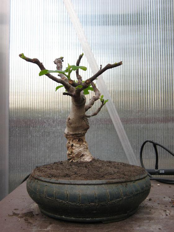 Ficus-Carica Img_2013