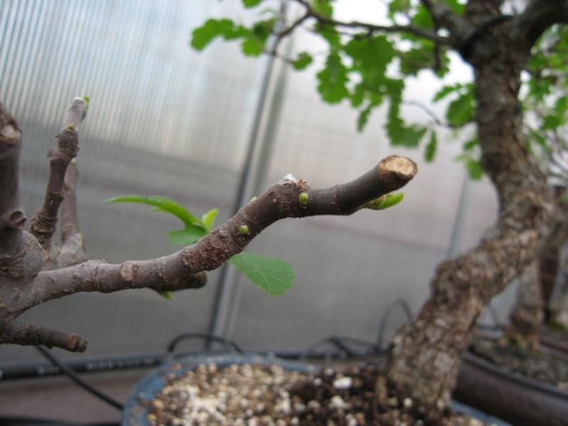 Ficus-Carica Img_2016