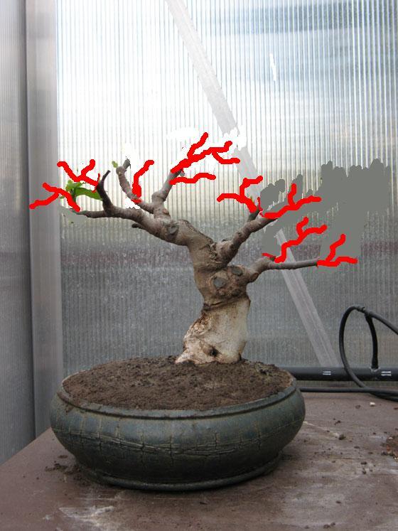 Ficus-Carica Img_2025