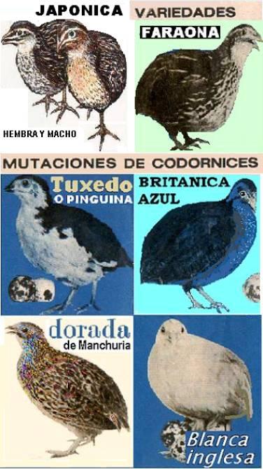 . CODORNIZ, QUAIL, QUAGLIA, CODORNA, CAILLE, WACHTEL  En latin Coturnix C. Japónica  Codorn13