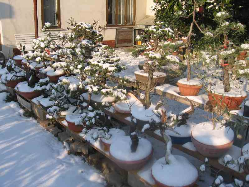 Dove coltiviamo i nostri bonsai Neve710