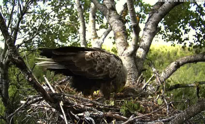 White-tailed Eagle Camera Lovers - Page 10 Vlcsna15