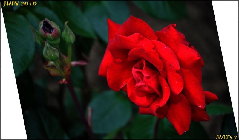 Concours du mois de juin 2010. Thème : Au nom de la rose Juin_210