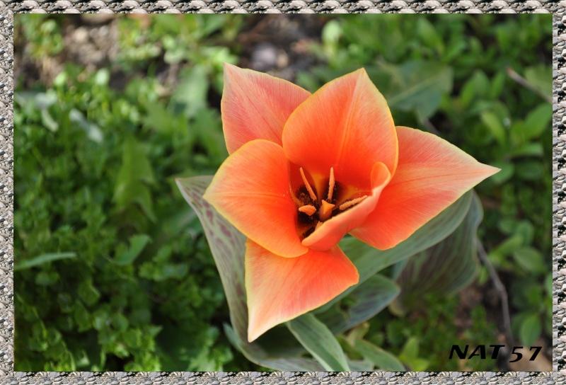 Concours du mois d'avril 2010. Thème : Les premières fleurs du printemps Tulipe11