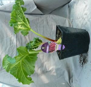 La tarte à la rhubarbe meringuée Rhubar10