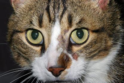 La teigne chez le chat Photo310