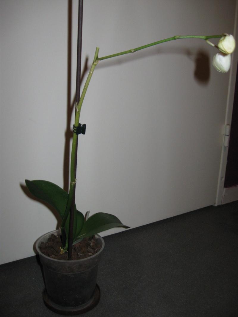 sauvetage d'orchidée, à l'aide! Img_0415