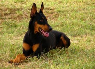 Casanova Dog Bio Doberm10
