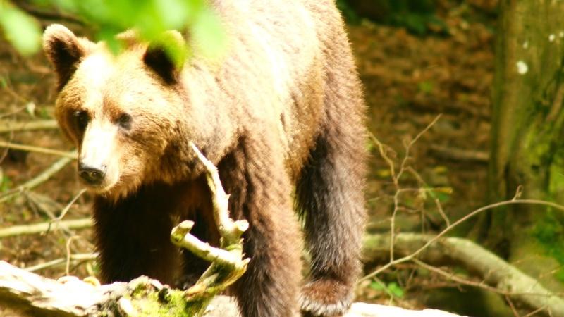 Ours dans les Carpates roumaines... 1010