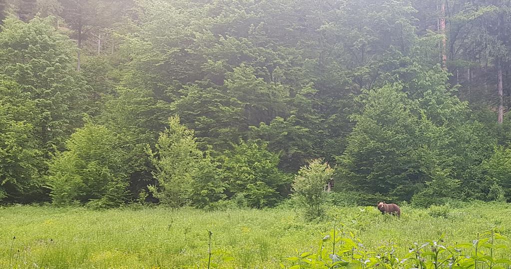 Ours dans les Carpates roumaines... 20190510