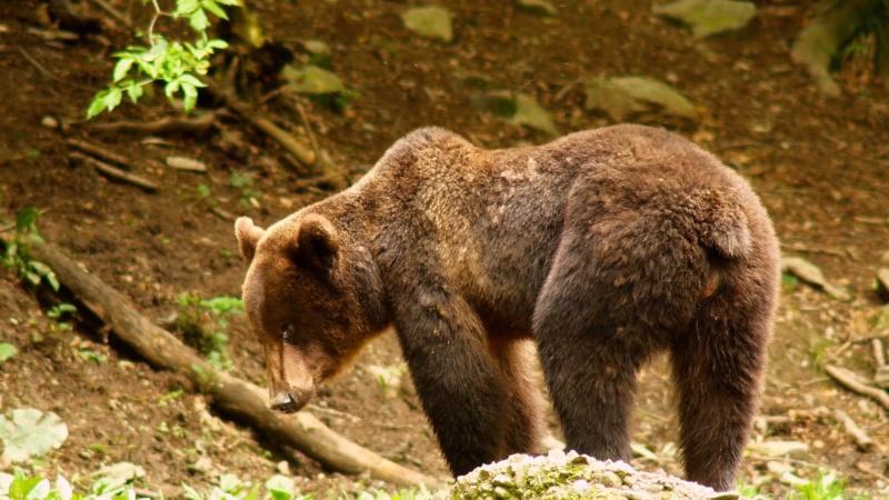 Ours dans les Carpates roumaines... 9a11