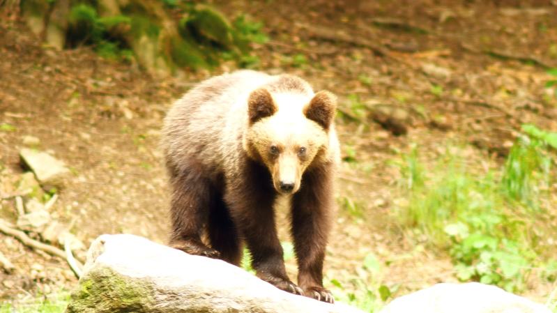 Ours dans les Carpates roumaines... - Page 2 C_cr10