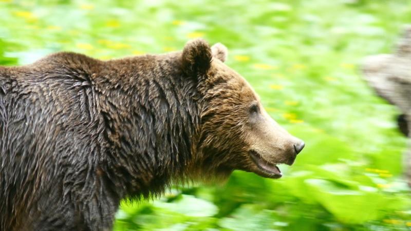 Ours dans les Carpates roumaines... - Page 2 G10