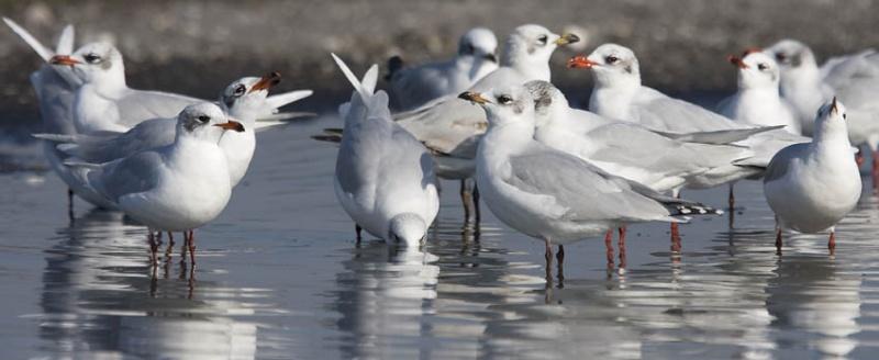 Birding Gulls Forum