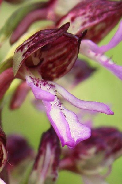 Orchis purpurea ( Orchis pourpre ) 1486im10