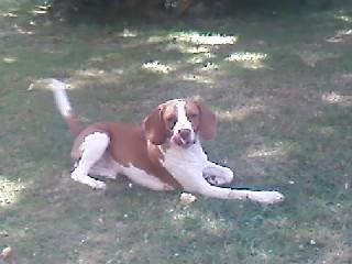 KHEOPS, beagle mâle, 14 mois (93) P29-0710