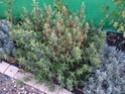 Cistus purpureus - feuille qui jaunisse Img_0011