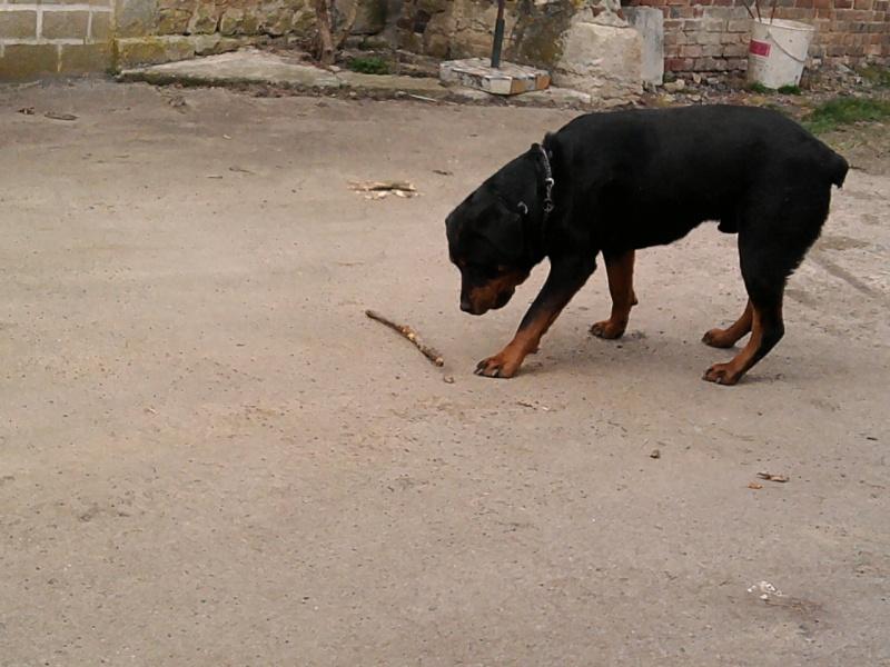CAID mâle Rott 2 ans cherche famille URGENT - Page 3 Photo110