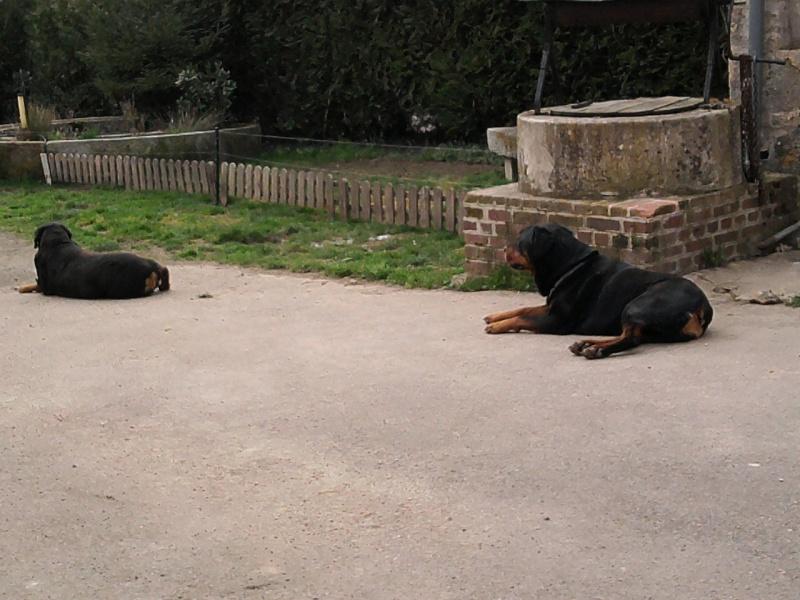 CAID mâle Rott 2 ans cherche famille URGENT - Page 3 Photo111