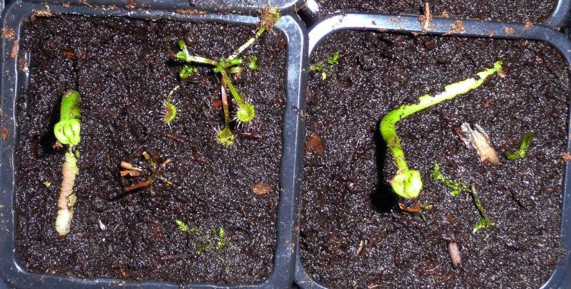 Planter une hampe de dionée - Page 3 P1080010
