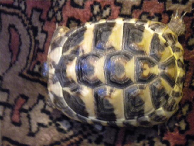 infos sur une tortue Tortue12