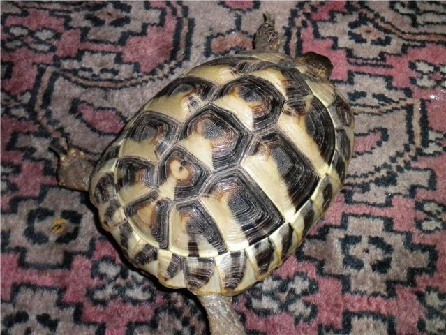 infos sur une tortue Tortue13