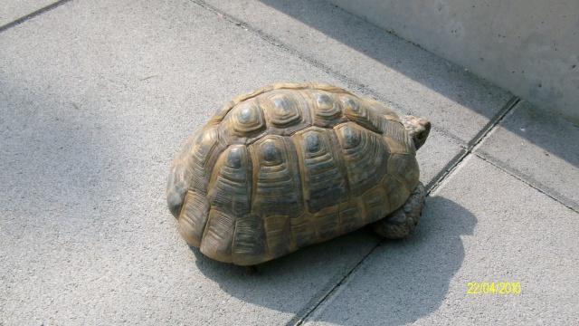 veux savoir la race de cette tortue Tortue14