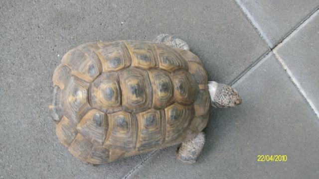 veux savoir la race de cette tortue Tortue15
