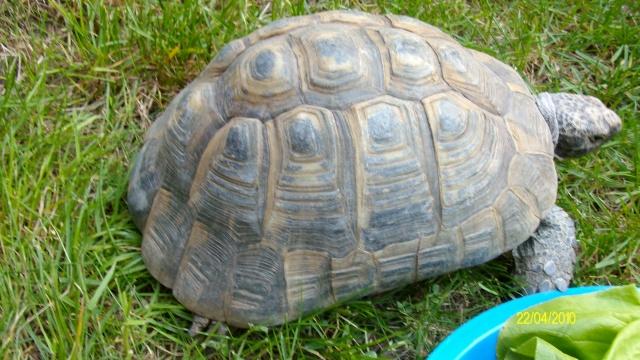veux savoir la race de cette tortue Tortue17