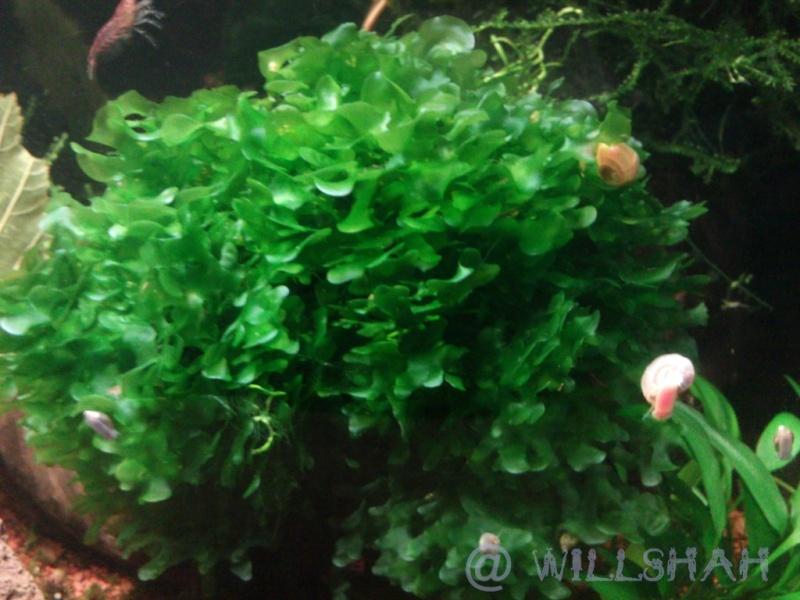 Index illustré de nos plantes d'aquarium Dsc02712