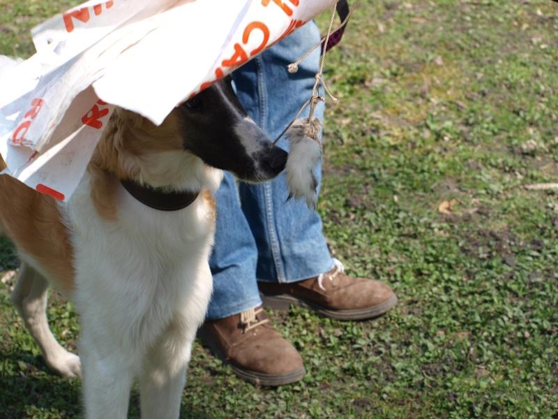 Elfie ... un vrai chien de course P4111111
