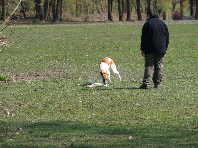 Elfie ... un vrai chien de course P4111112