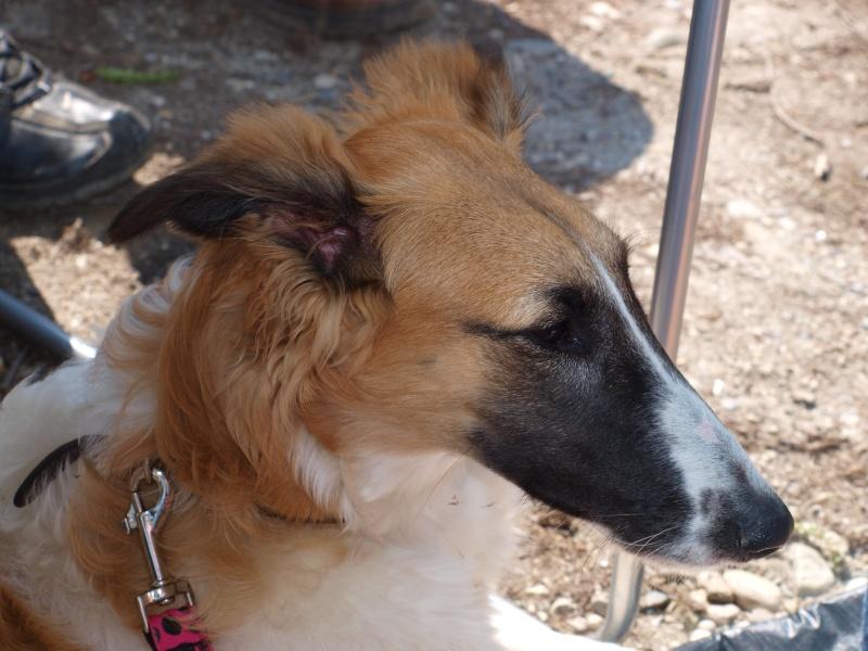 Elfie ... un vrai chien de course P4111114