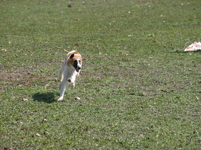 Elfie ... un vrai chien de course P4111115