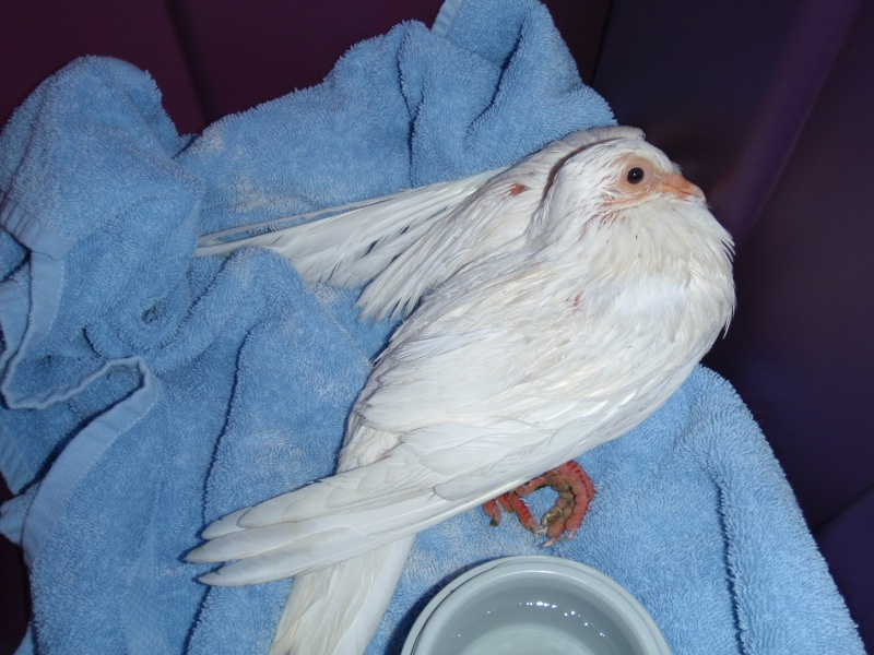Injured White Homer Looking for a forever home! SWFL P3281314