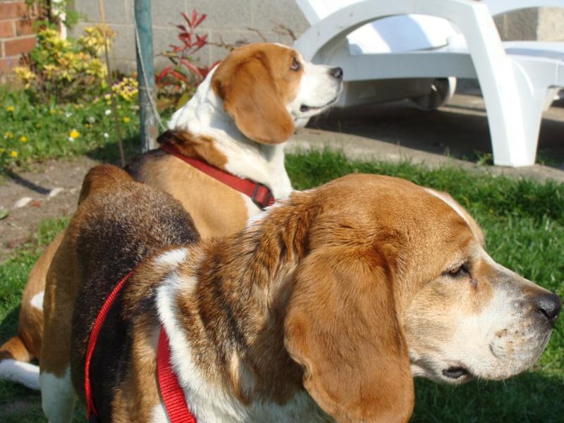 VICKY, beagle femelle, 5 ans (59) Dsc01011