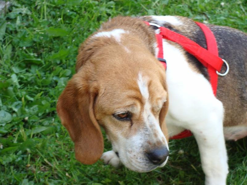 VICKY, beagle femelle, 5 ans (59) Dsc01013